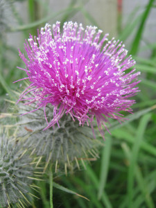 Scotch-Thistle