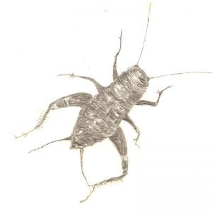 Cricket by Leila Lees Lasavia Healing