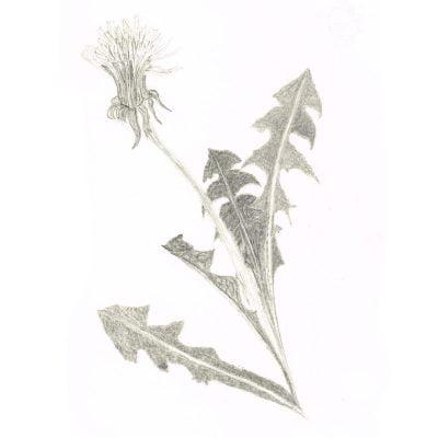 Dandelion by Leila Lees Lasavia Healing